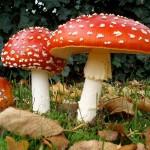 Ultime Notizie: Corigliano Calabro. Mangiano funghi velonosi: due morti e due intossicati gravi