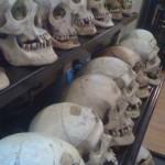 Crani esposti nel museo Lombroso