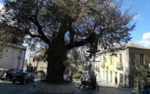 San Lorenzo. Olmo secolare