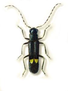 Malthodes rheginus Liberti, l'insetto scoperto all'interno del Parco Aspromonte