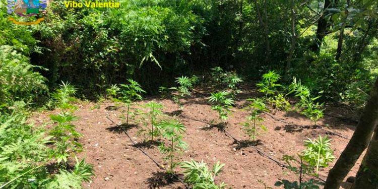 Fabrizia. Guardia di Finanza individua 5 piantagioni di canapa indiana e distrugge 268 piante 2