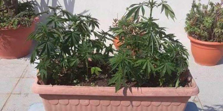 Gioiosa Jonica. Marijuana nei vasi sul davanzale di una finestra in casa: arrestato dai Carabinieri 4